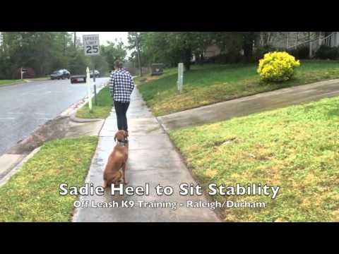 Xxx Mp4 5yo Vizsla Quot Sadie Quot Before And After Video Amazing Vizsla Dog Training Raleigh Durham 3gp Sex