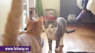 Pelea de gatos. Mi gato no acepta al nuevo gatito en casa. Descubre cómo ayudarles con FELIWAY.