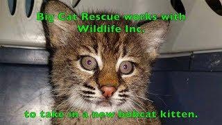 A New Rehab Baby Bobcat