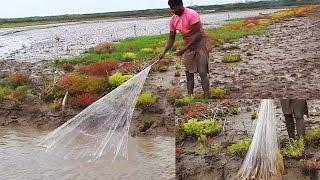 Live Net Fishing | Net Fishing with Heron Birds | Fish Caught in Shallow Pond | Heron Fish Caught