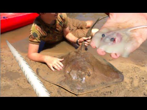 RARE FOOTAGE: Stingray Giving Birth, Boy Delivers 12 Stingrays! HD