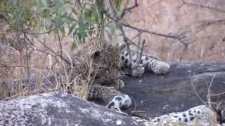 SO CUTE! Bored Leopard cub irritating mom!
