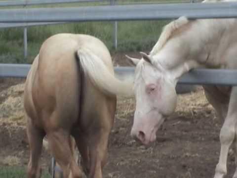 Three Stallions Meet Two Foals
