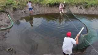 Seining in a koi pond @ Imperial Tropicals