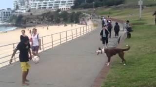(Comedy Skits) Dog Plays Football Mp4 3gp
