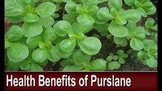 Purslane: A Power Food of the Future - Health Benefits of This Common Edible Garden Weed
