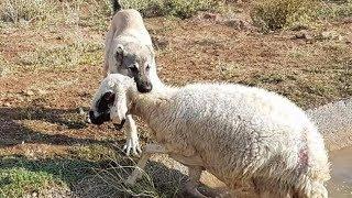 sivas kangalı koyunun hayatını kurtardı