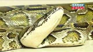 Burmese Python Shifted To Nandankanan After 10 Months of Treatment