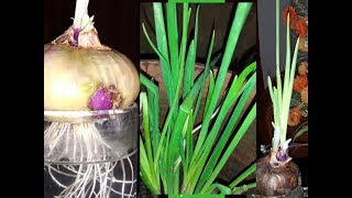 വീടിനുള്ളിൽ ഉള്ളിത്തണ്ട് വളർത്തുന്ന പരീക്ഷണം വിജയിച്ചു Spring Onion Farming