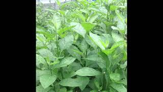 Bitter leaf Health Benefits