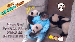 【Panda Theme】How Do Pandas Help Nannies In Their Jobs? | iPanda