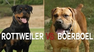 ROTTWIELER VS BOERBOEL - A BATTLE OF BIG DOGS