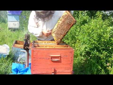 запомнил Объединение пчело семей в июне сказал Хедрон