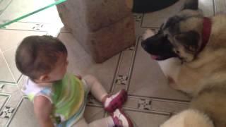 Akita americano con bebe