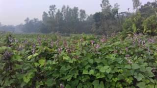 শিমের রাজ্যে ফুলের শোভা | banglanews24.com  | ভিডিও: সোহেল সরওয়ার