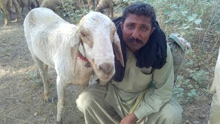 General Farmer interview|sheep & goat farming in pakistan urdu/hindi|goat farming in usa