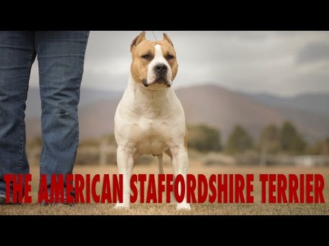 AMERICAN STAFFORDSHIRE TERRIER THE CIVILIZED PIT BULL