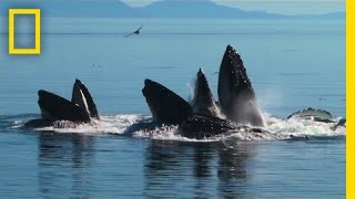 Whales Team Up in Amazing Bubble-Net Hunt | National Geographic