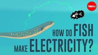 How do fish make electricity? - Eleanor Nelsen