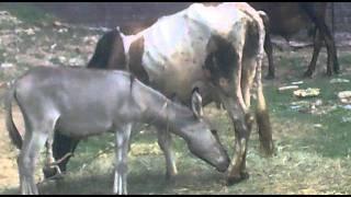 Donkey Drink cow milk