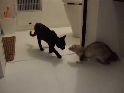 黒猫とフェレット