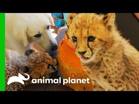 Cheetah Cubs Meet Their New Dog Best Friend The Zoo San Diego