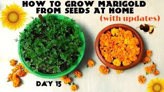 How to Grow Marigold From Seeds (With Updates)