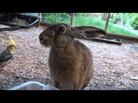 Brown Hare makes snorting sounds - latest Bambi film