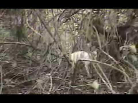 Reportagem Globo Caçada de Onça Pintada Pantanal MS
