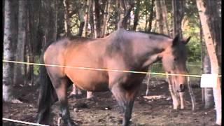 ahhj rainbow ranch alaskan performance ponies courtesy call