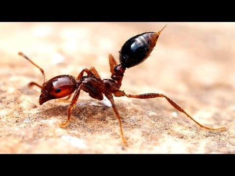 Why Fire Ants are Amazing