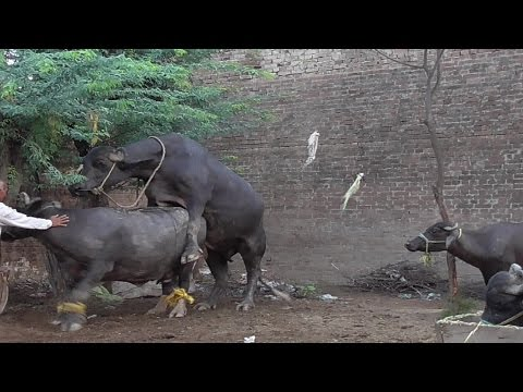 Desi Pure Buffaloes Breeding & Licking