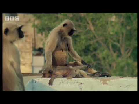 Xxx Mp4 New Leader Kills Monkey Babies Monkey Warriors BBC Animals 3gp Sex