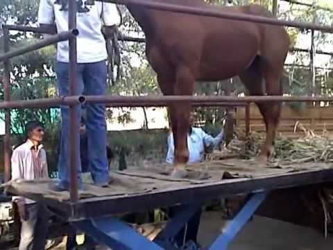 Xxx Mp4 Horse Loading And Unloading Platform 3GP 3gp Sex