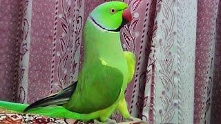 How my Parrot wake me up-Beautiful bird