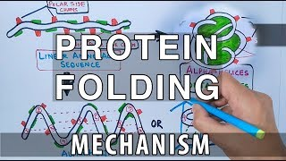 Protein Folding Mechanism