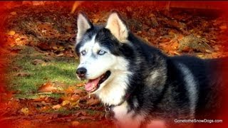 How to Protect your Dogs Feet! FAN FRIDAY #80 - Siberian Husky