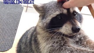 Fred the Friendly Raccoon - Part 1