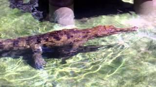 Crocodile feeding at L.A. Zoo