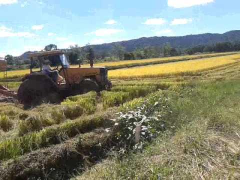 Trator quase atola em colheita de arroz