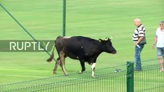 Bulgaria: COW invades football pitch during friendly match in Sofia