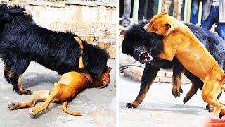 هذا ما يحدث عندما تلتقي الكلاب الضالة مع أقوى فصائل الكلاب!!