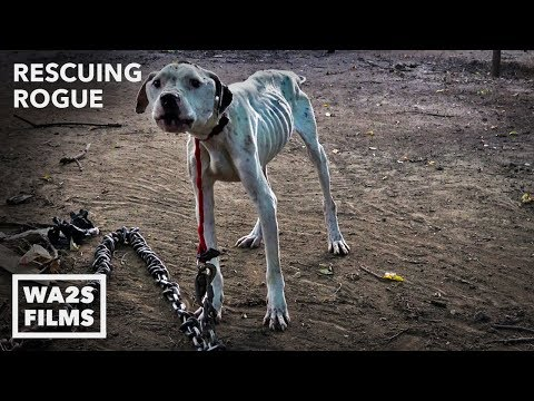 Howl Of A Dog Pit Bull Starved on Heavy Chain Rescuing Rogue 1 with Detroit Pit Crew Rescue