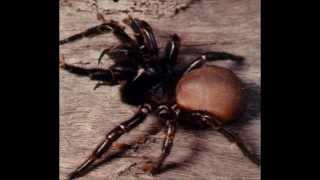 Top 10 araignées les plus venimeuses au monde