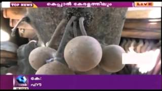 Perfume Fruit Kepel Getting Popular in Kerala