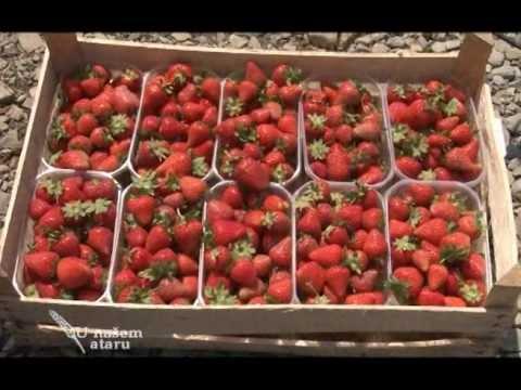 Proizvodnja i prodaja jagoda u Futogu U nasem ataru 434.wmv