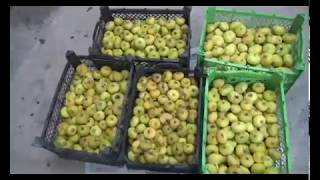 Iran Organic Fig harvest, SarvAbad county برداشت انجير شهرستان سروآباد ايران
