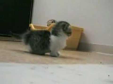 gatito paticorto