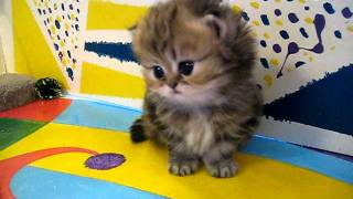 "Cute Persian kittens: the ""I"" Litter 1 of ? - 7.10.11"