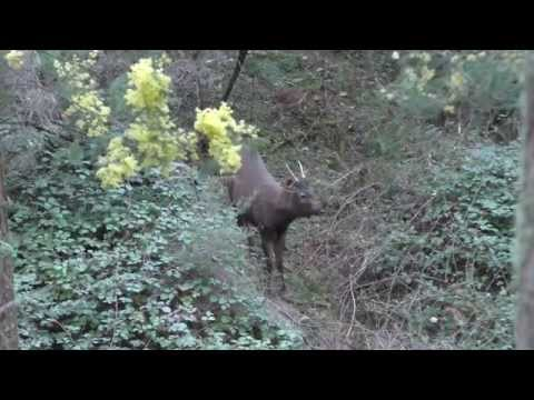 Sambar Deer Recurve Bow Hunt